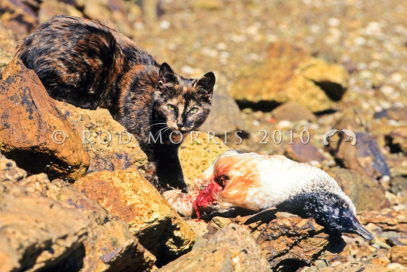 11002-23122  Feral cat (Felis catus) feeding on a little blue penguin, outer Otago Harbour