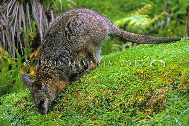 11002-07103  Dama wallaby (Macropus eugenii) occur on Kawau Island, and in the Rotorua district, centred around Lake Tarawera in the North Island. Dama prefer edge habitats with dense vegetation cover adjacent to grass feeding areas *