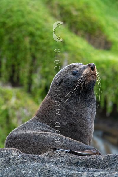 DSC_3799  New Zealand fur seal (Arctocephalus forsteri) adult ashore on rocky coast. South East Island, Chathams Group *
