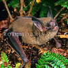 11002-02206  South Island lesser short-tailed bat (Mystacina tuberculata tuberculata) echo-locating on the forest floor prior to take-off. Fiordland *