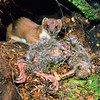 11002-21310 Stoat (Mustela erminea) with young great-spotted kiwi chick outside burrow. Arthurs Pass National Park *