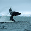 11002-51111  Humpback whale (Megaptera novaeangliae) tail-slapping in Antarctic waters *