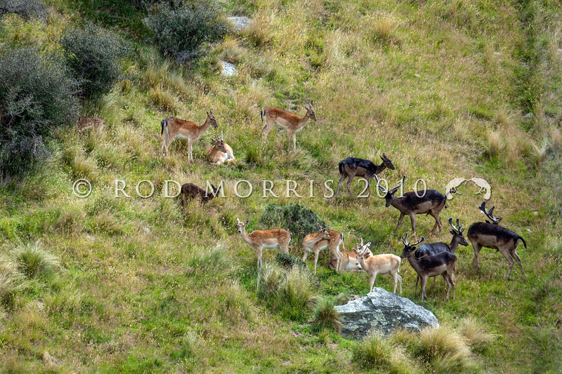 DSC_2041  Fallow deer (Dama dama) herd resting out in the open, close to matagouri shrubland, and showing mixed coloured pelage typical of New Zealand mobs. Lake Wakatipu *