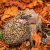 11002-13120  European hedgehog (Erinaceus europaeus) 'self-annointing'