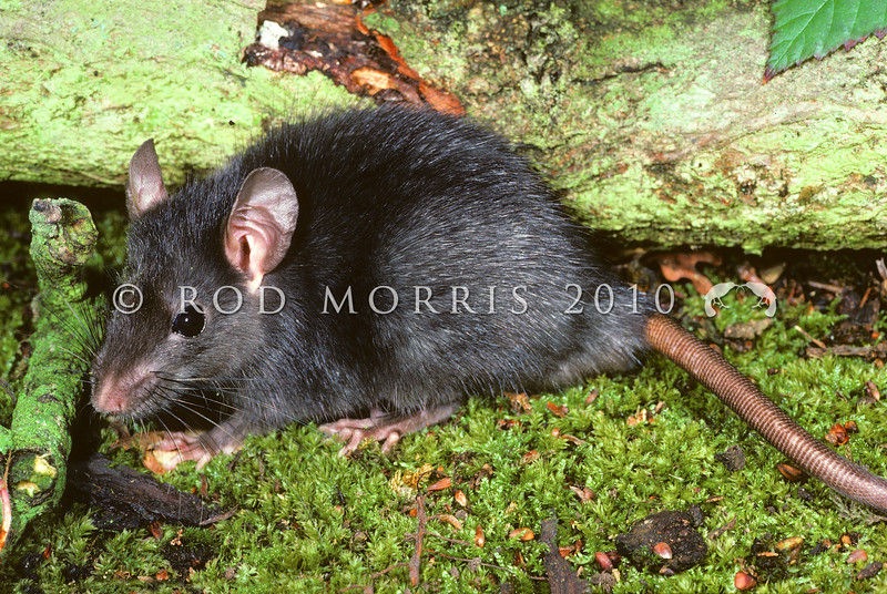 11002-18102  Ship rat (Rattus rattus)  the 'black' rat is one of the three colour forms of ship rat, with a characteristic bluish-tinged black back, merging to a slate-grey belly. Ship rats are the commonest rat in New Zealand, they reach their greatest abundance in lowland forests, and are found in all forest types. They are also found in parks, hedgerows, farmland, and buildings. Their climbing ability means that their habitat is three dimensional incorporating everything from the ground to the treetops. *