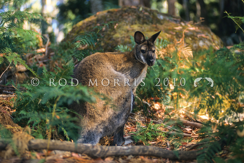 11002-57612  Bennett's wallaby (Macropus rufogriseus) introduced from Tasmania in 1874. An 'edge' species requiring scrubby cover close to grasslands for grazing *
