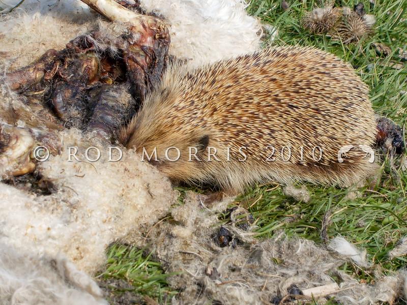 DSCN 5862 European hedgehog (Erinaceus europaeus) a young animal fresh out of hibernation, scavenging an early lamb carcass in broad daylight. Wanaka *