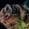 11002-01109 New Zealand long-tailed bat (Chalinolobus tuberculatus) young male. Fiordland *