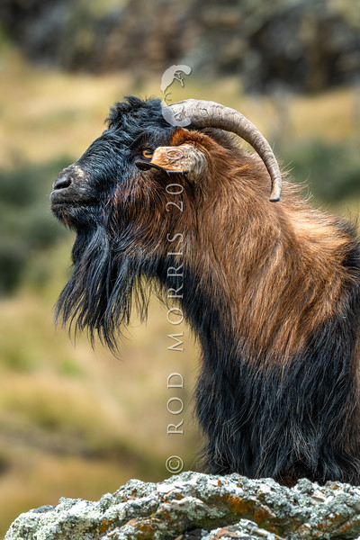 DSC_1978 Feral goat (Capra hircus) wild male. Typical colour of feral goats in the Lake Wakatipu area. Arrowtown *