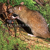 11002-19216  Norway or brown rat (Rattus norvegicus) attacking a tree weta