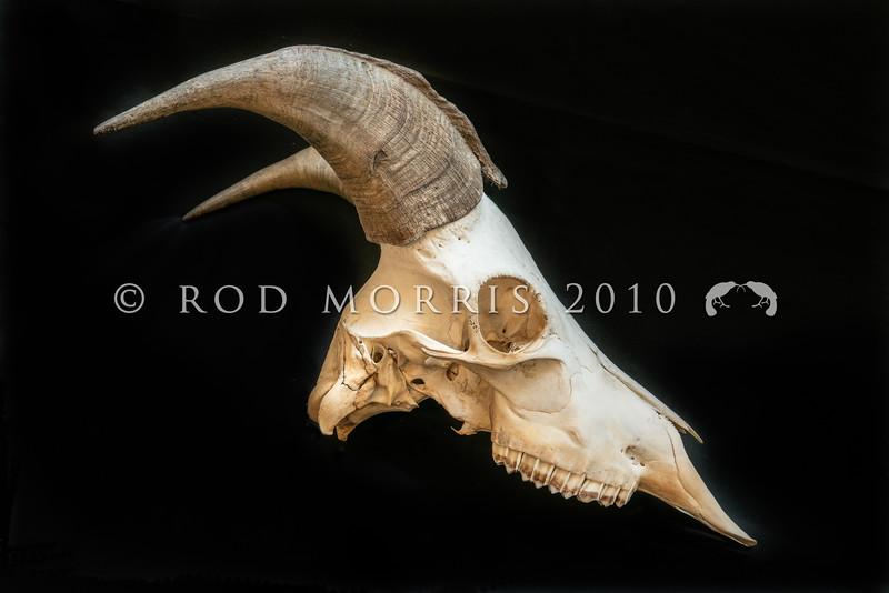 DSC_8101501 Himalayan tahr (Hemitragus jemlahicus) skull of mature bull *