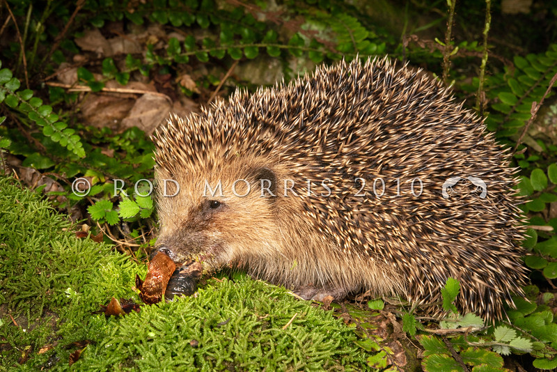 DSC_3401 European hedgehog (Erinaceus europaeus) eating snail. Introduced into New Zealand to control garden pests such as snails and slugs, this seemingly innocuous 'insectivore' also poses a great predation risk to native species in places like the Mackenzie Basin where more than 50% of all nests of ground-nesting birds - stilts, dotterels, black-billed gulls, black-fronted terns and pipits - are being lost to hedgehog predation, as well as native reptiles such as skinks and invertebrates such as beetles, grasshoppers and weta.Orago Peninsula *