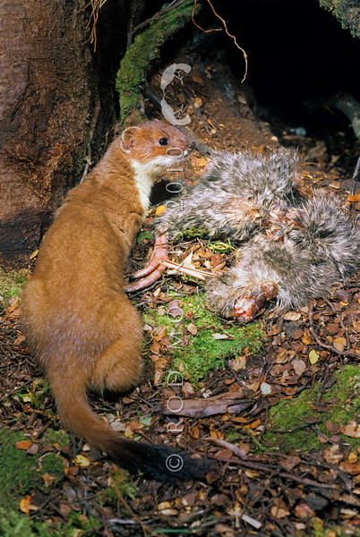 11002-21314 Stoat (Mustela erminea) with young great-spotted kiwi chick outside burrow *