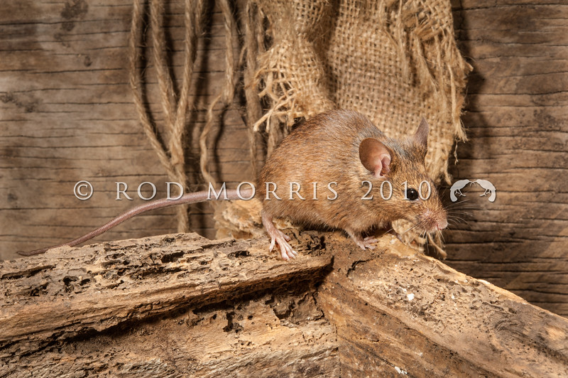 DSC_9070 House mouse (Mus musculus domesticus) wild female returning to nest in garden shed. Mouse numbers increase in many areas in summer when pasture grasses seed, providing an abundance of food. Otago Peninsula *