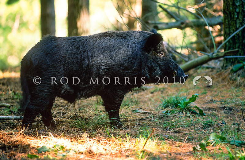 11002-25103 Feral pig (Sus scrofa) boars such as this one, have a well developed keratinous shield up to 90mm thick on their shoulders to protect ribs from tusks during fighting. Kaweka Range *
