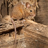 DSC_9065 House mouse (Mus musculus domesticus) wild female returning to nest in garden shed. Mouse numbers increase in many areas in summer when pasture grasses seed, providing an abundance of food. Otago Peninsula *