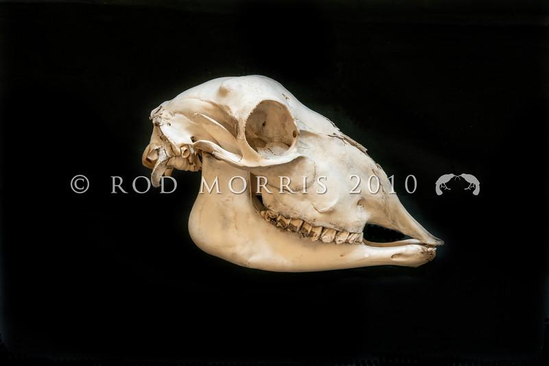 DSC_8101511  Feral sheep (Ovis aries) ewe's skull *