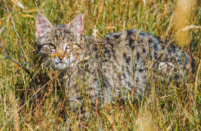 11002-23116  Feral cat (Felis catus) a young wild cat in long grass on edge of beech forest. Broken River, Craigieburn *