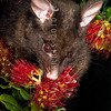 DSC_6810 Brushtail possum (Trichosurus vulpecula) eating pohutukawa, this introduced pest species is a selective feeder and a significant threat to our native Metrosideros species *