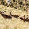 DSC_4226 Red deer (Cervus elaphus scoticus) stag roaring, with hinds and fawns  in tussock high country. Kakanui Range *