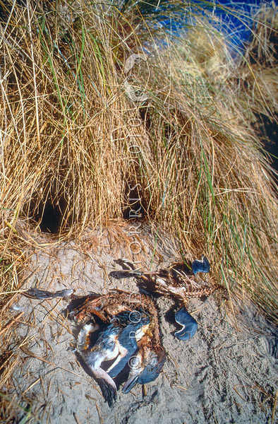 11001-27509  Feral ferret (Mustela putorius furo) predated little blue penguin carcasses outside their breeding burrows at a colony in the dunes. Ferrets in New Zealand kill large numbers of rare native bird species, especially flightless ground-nesting birds such as kiwi and penguins. Pipikaretu Beach, Otago Peninsula *