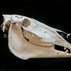 DSC_8101485 Feral horse (Equus caballus) skull *