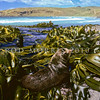 11002-40104  New Zealand fur seal (Arctocephalus forsteri) mature bull resting on kelp on Otago Peninsula *