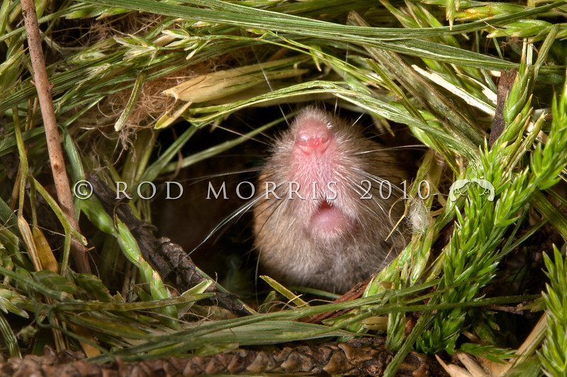 DSC_8153 House mouse (Mus musculus domesticus) nose of male emerging from nest entrance in long grass. Mouse numbers increase in many areas in summer when pasture grasses seed, providing an abundance of food. Otago Peninsula