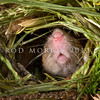DSC_8153 House mouse (Mus musculus domesticus) nose of male emerging from nest entrance in long grass. Mice are often overlooked as predators, but mouse numbers increase in many areas in summer when pasture grasses seed, providing an abundance of food. Mice are significant predators of insects, especially beetles and caterpillars, as well as small reptiles, and the eggs and young of small birds. Otago Peninsula *