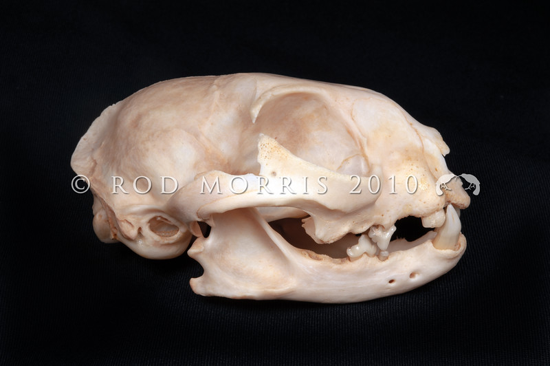DSC_2649  Feral cat (Felis catus)  lateral view of skull of an old wild cat prepared by George Holley. Broken and absent teeth may indicate Feline immunodeficiency virus. FIV is a fatal disease in cats, and is similar to HIV in humans. Between 7% and 30% of NZ cats have FIV. Infection rates vary between regions, but areas with large feral cat populations have higher rates. Cromwell *