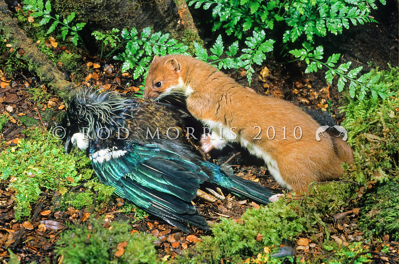 11002-21219 Stoat (Mustela erminea) with tui prey. Introduced into New Zealand in 1884 by run-holders whose economic self-interest outweighed a desire to protect our native birds *12/17