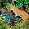 11002-21219 Stoat (Mustela erminea) with tui prey. Introduced into New Zealand in 1884 by run-holders whose economic self-interest outweighed a desire to protect our native birds *