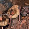 11002-03118 Central lesser short-tailed bat (Mystacina tuberculata rhyacobia) inside nursery tree with young. Rangataua Forest