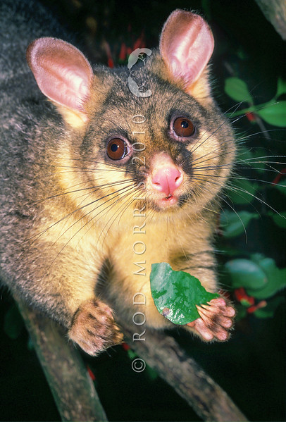 11002-06113  Brushtail possum (Trichosurus vulpecula) an introduced pest species reaching much higher densities in New Zealand than in its native Australia *