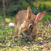 11002-14118 European rabbit (Oryctolagus cuniculus cuniculus) scent-marking.