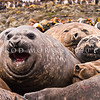 DSC_0147 Southern elephant seal (Mirounga leonina) adult females gathered in harem. Macquarie Island *