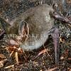 11002-02119 South Island lesser short-tailed bat (Mystacina tuberculata tuberculata) in petrel burrow, eating weta. Codfish Island *