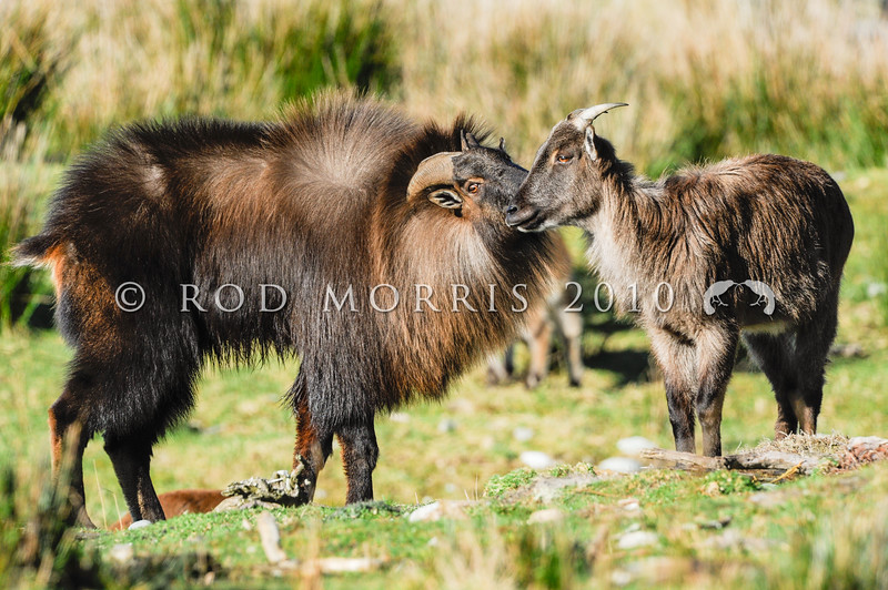 DSC_1745  Himalayan tahr (Hemitragus jemlahicus) mature bull with long display hair and thick mane or 'cape' courting receptive female