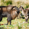 DSC_1745  Himalayan tahr (Hemitragus jemlahicus) mature bull with long display hair and thick mane or 'cape' courting receptive female *