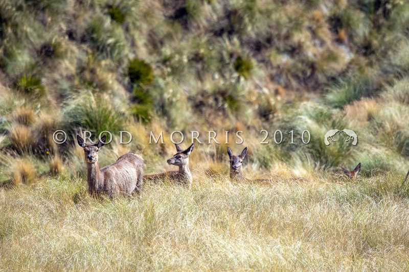 DSC_4172 Red deer (Cervus elaphus scoticus) hinds and fawns in tussock high country. Kakanui Range *