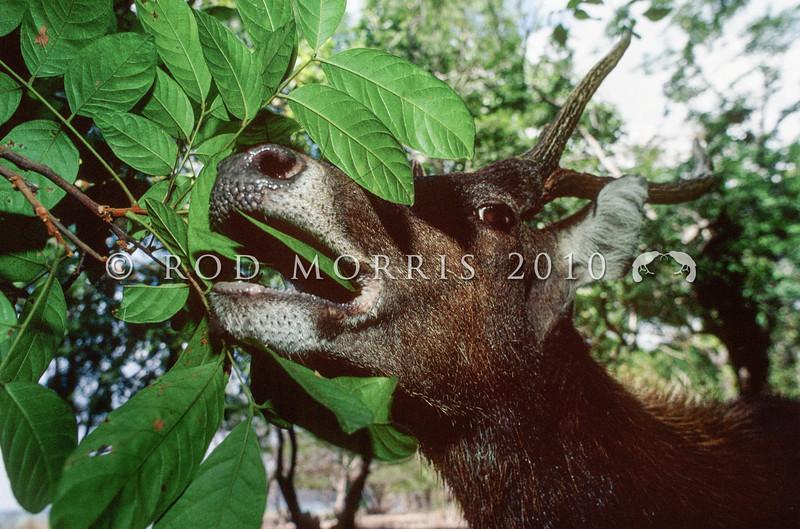 11002-64105  Rusa deer (Cervus timorensis) male eating tree foliage *