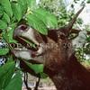 11002-64105  Rusa deer (Cervus timorensis) male eating tree foliage.