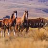 11002-24106 Feral horses (Equus caballus) two mares with immatures in Otago foothills