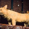11002-19806  Kuri (Canis lupus familiaris) smallish dogs that reached New Zealand from East Polynesia around 1300 AD in the colonising canoes of Polynesian settlers. After interbreeding with European dogs, they eventually become extinct around the early 1860's. They had been important to the economy of early Maori, being valued as a food item for important guests, while kuri skins were used in cloaks. Today a few last remains of kuri are held at Te Papa and at Otago Museum *