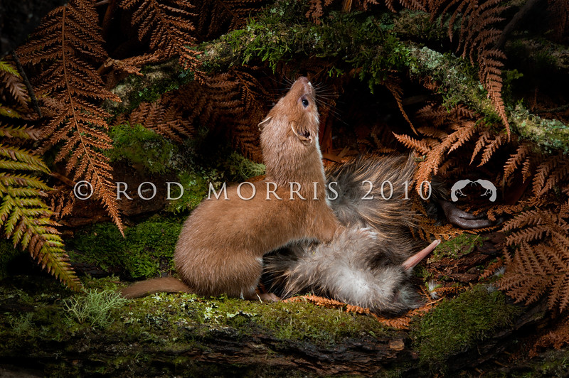 DSC_9564 Weasel (Mustela nivalis vulgaris) male with brown kiwi chick.  The weasel is the smallest member of the order Carnivora. Introduced in 1885-86, this particular subspecies originated in western and central Europe. Although they have a patchy distribution in NZ, because of competition with stoats, they have wreaked havoc on our native flightless birds *