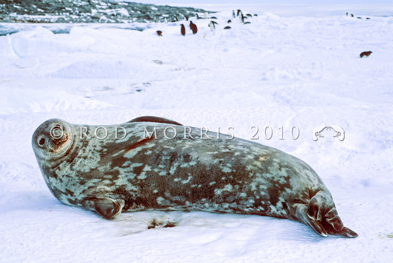 11002-42122  Weddell seal (Leptonychotes weddellii) resting on fast-ice on the Antarctic coast *