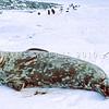 11002-42122  Weddell seal (Leptonychotes weddellii) resting on fast-ice on the Antarctic coast *