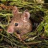 DSC_8126 House mouse (Mus musculus domesticus) head of male emerging from nest in long grass. Mouse numbers increase in many areas in summer when pasture grasses seed, providing an abundance of food. Otago Peninsula