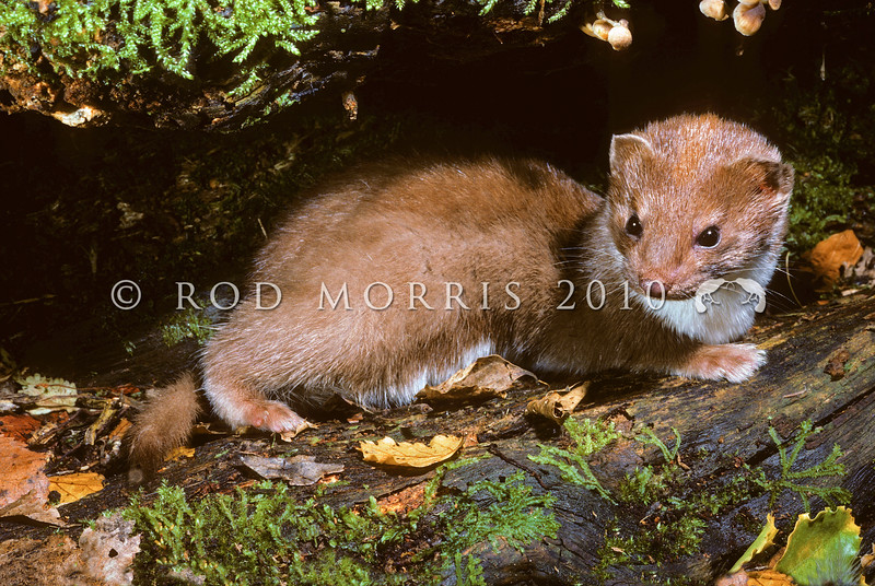 11002-20104  Weasel (Mustela nivalis vulgaris) introduced in 1885-86, weasels are now rare in most districts. Wyndham, Southland *