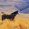 11002-24104 Feral horse (Equus caballus) wild stallion in Otago foothills *